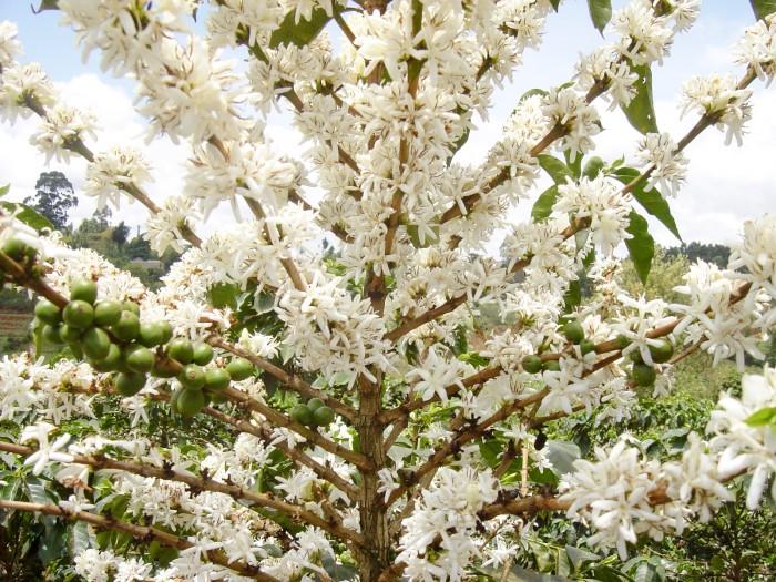 kehve-ağacı-çiçek